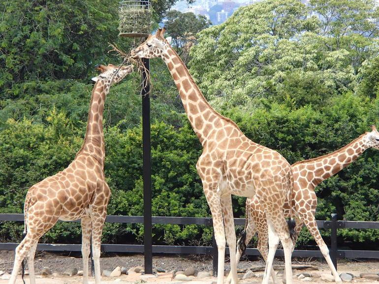 girafe-groupe-au-zoo-targona