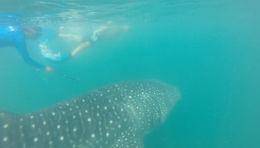 Whale shark sighting, Cat - November 2014