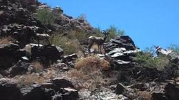Deer, keokietta - August 2011