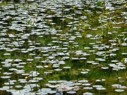 Water lilies at the imperial gardens , ginalee912 - May 2016