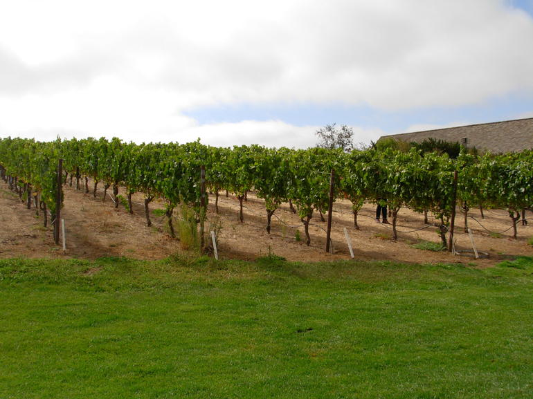 rows and rows of grape vines - San Francisco