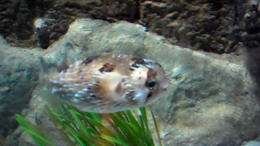 A Blowfish. - February 2012
