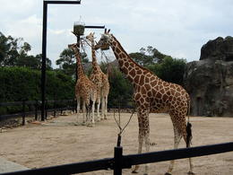 Giraffe in Taronga Zoo . , wenda xie - November 2013