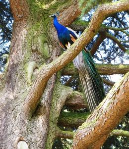 Handsome peacocks in the Peacock Garden of Warwick Castle, Petra H - July 2010