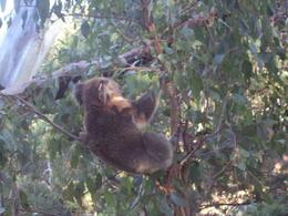 koala , kathryn k - April 2014