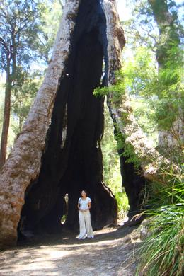 Giant Tree, Leah - April 2011
