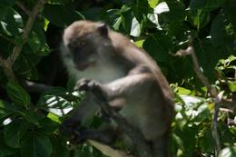 This is one of the monkeys that can be found on Monkey Beach Phi Phi Island., Barry R - November 2008