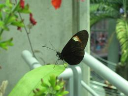 One of the butterflies in the rain forest., Global Nomad - February 2009