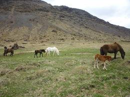 icelandic horses, Irene - June 2015