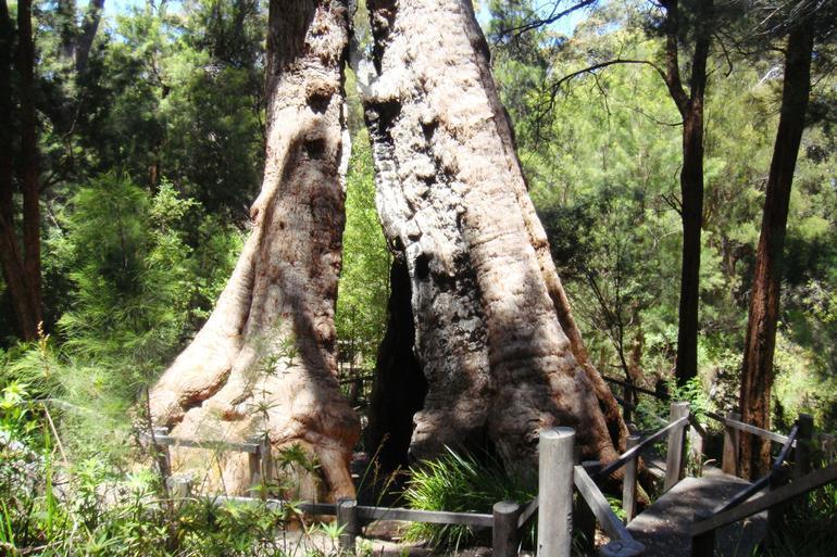 Giant Tree - Perth