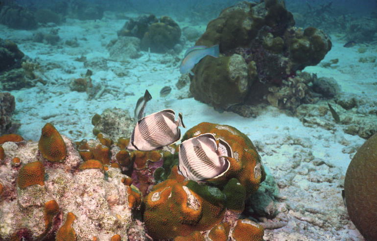 Pelican Cove Snorkel Tour - St Kitts