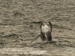A couple of whales my husband caught in action! , GIULIA H - November 2015