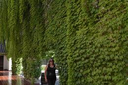 Parede de folhas de parreiras na vila Concha Y Toro em Santiago , Geanini T M P - February 2015