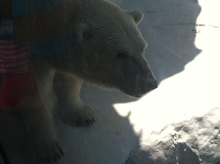 Polar Bear - San Diego