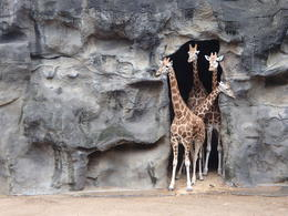 Giraffe in Taronga Zoo. , wenda xie - November 2013