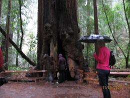Visitors checking out the inside of a Redwood - November 2009