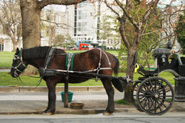 Royal Carriage Tour in Victoria: our horse and carriage - December 2011