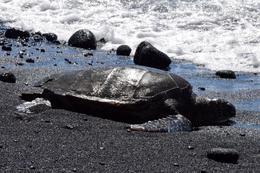 Sea Turtles at Punaluu Black Beach , llsq - July 2017