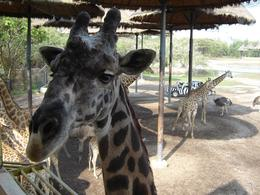 A giraffe we saw., NIKOS M - February 2008