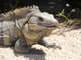 Iguanas were everywhere in Tulum. , Kevin F - May 2013