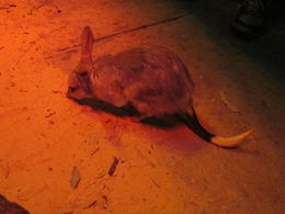 We had the opportunity to go behind the scenes of the zoo and play around with the Bilby., Nicks - December 2013