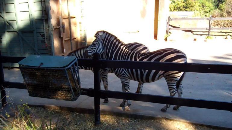 Zebras, Taronga Zoo - Sydney
