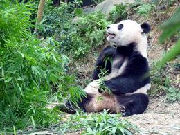Giant Panda munching on his favourite bamboo leaves, Yangtze exhibit, River Safari. , Rusty - December 2014