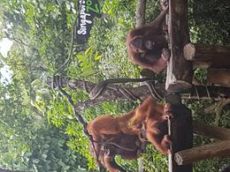 Breakfast with the Orangutangs , Janette W - September 2016