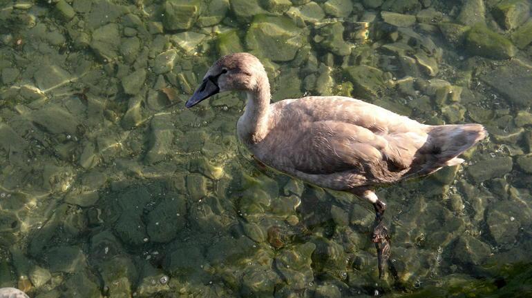 Swans - Zurich