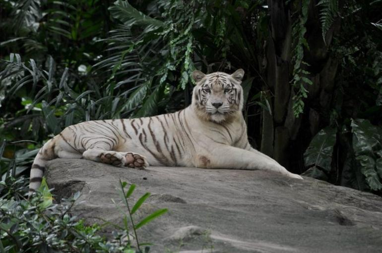 The beautiful white tiger - Singapore