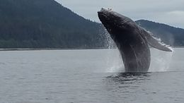 The whale , Efrain R - September 2015