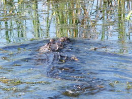 One of the gators seen on the airboat tour , Ian M - October 2015