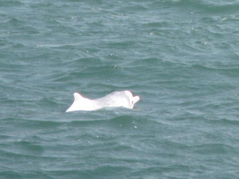 Another Chinese White (/Pink) Dolphin - Hong Kong