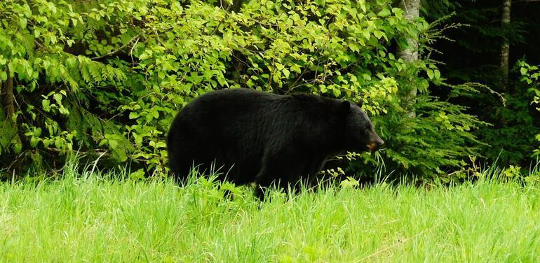 Black Bear - Vancouver