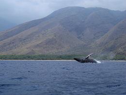 Breaching Whale , CHESTER o - February 2015