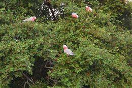Im kleinen historischen Dorf, waren viele rosa und weisse Kakadus zu sehen und hören , Danielle R - March 2015