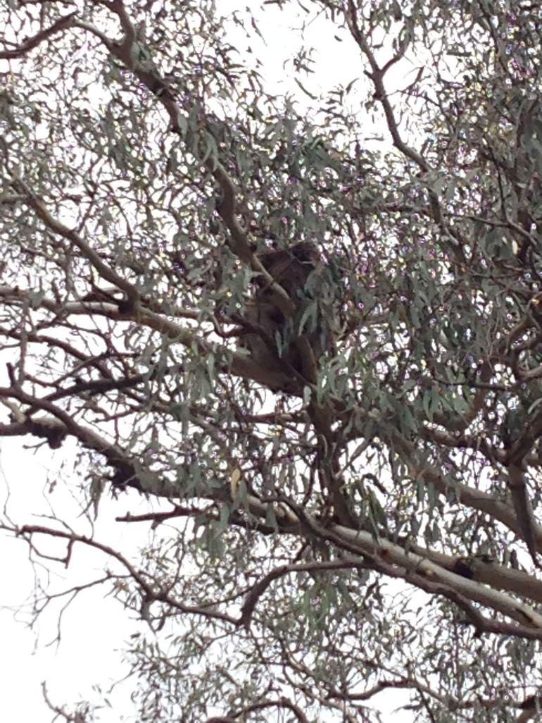 Koalas and Kangaroo in the Wild Tour from Melbourne