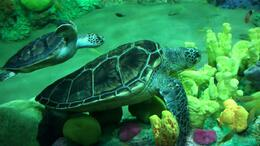 Baby and Momma Turtle, JennyC - July 2011
