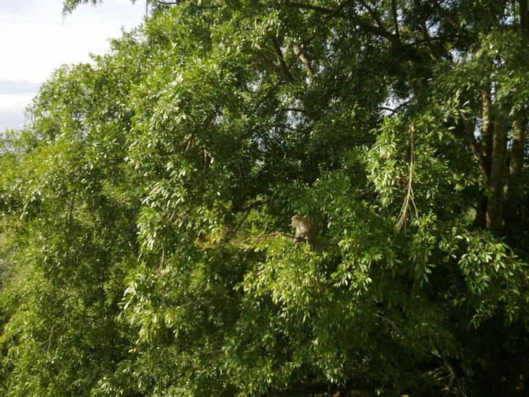 monkey on a tree - Kuala Lumpur