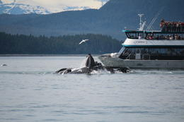 Watch the whales BUBBLE NET FISHING. June 16, 2013 , Charlaine M - June 2013
