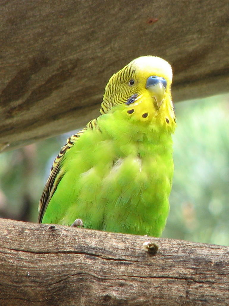 Yellow-headed Green Parrot - Ayers Rock