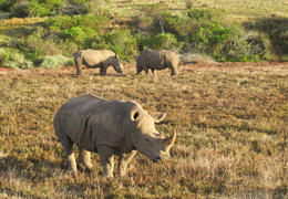 Rhinos in Addo, HTravelerUK - March 2014