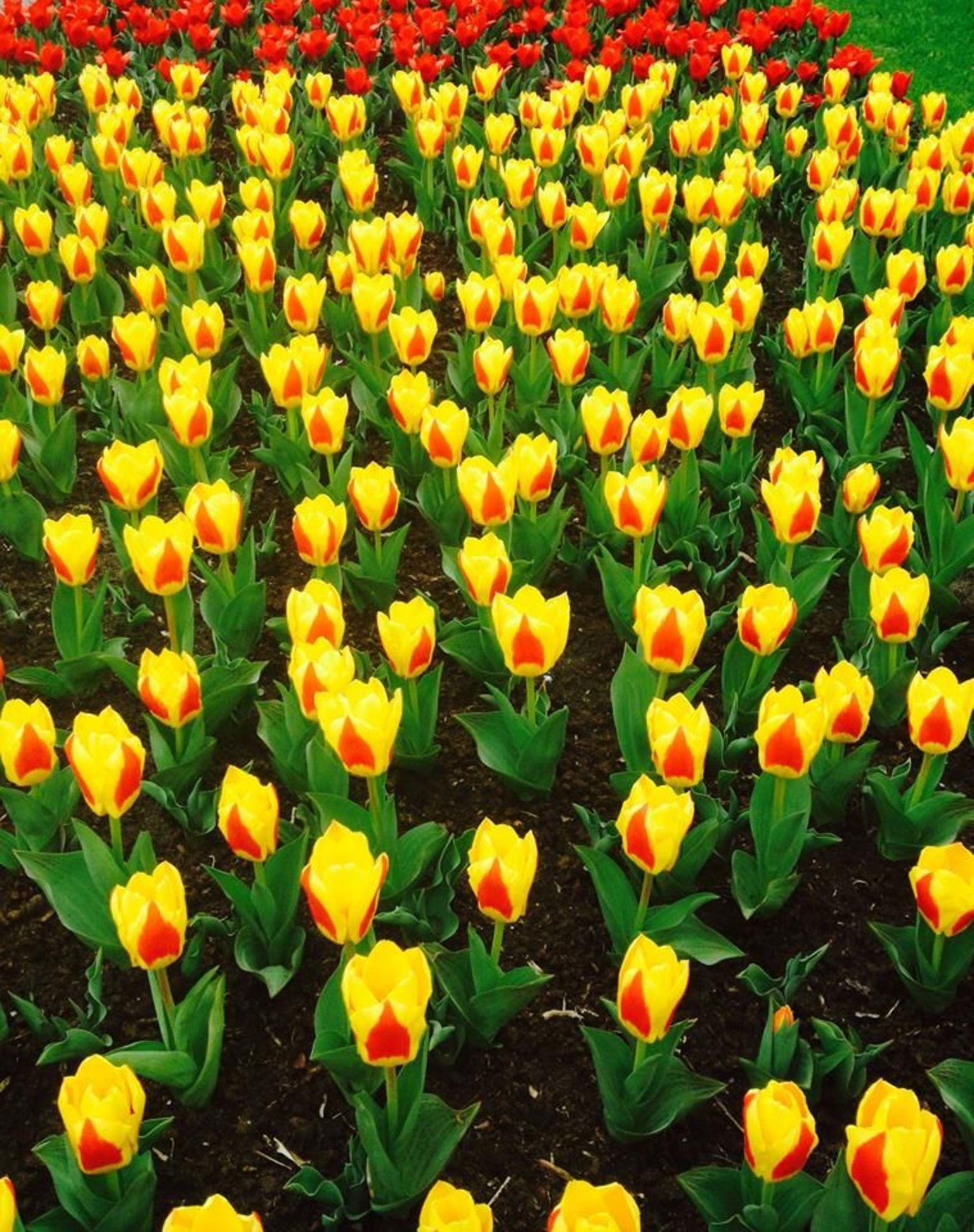 MAIS FOTOS, Guided Half-Day Trip from Amsterdam to the Keukenhof Gardens + Flower Fields