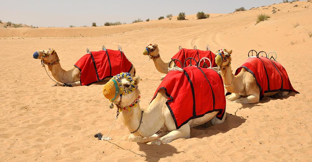 Dubai Desert Dune Bashing Camel Ride Sandboarding Dinner 2019