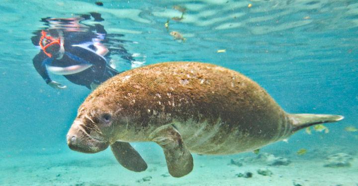 Crystal River Snorkeling Everglades Airboat Sa Tour 2019 Orlando