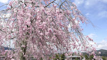 How to Experience Cherry Blossom Season in Osaka