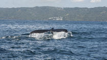Whale Watching in Samana