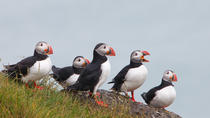 Puffin Tours in Iceland