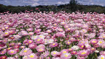 How to Experience Wildflower Season in Western Australia