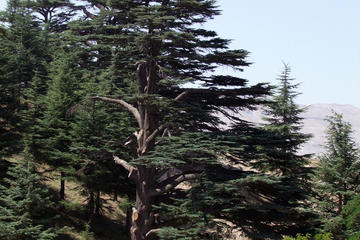 Cedars of Lebanon (Cedars of God)